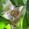 Hummingbird Nest Picture