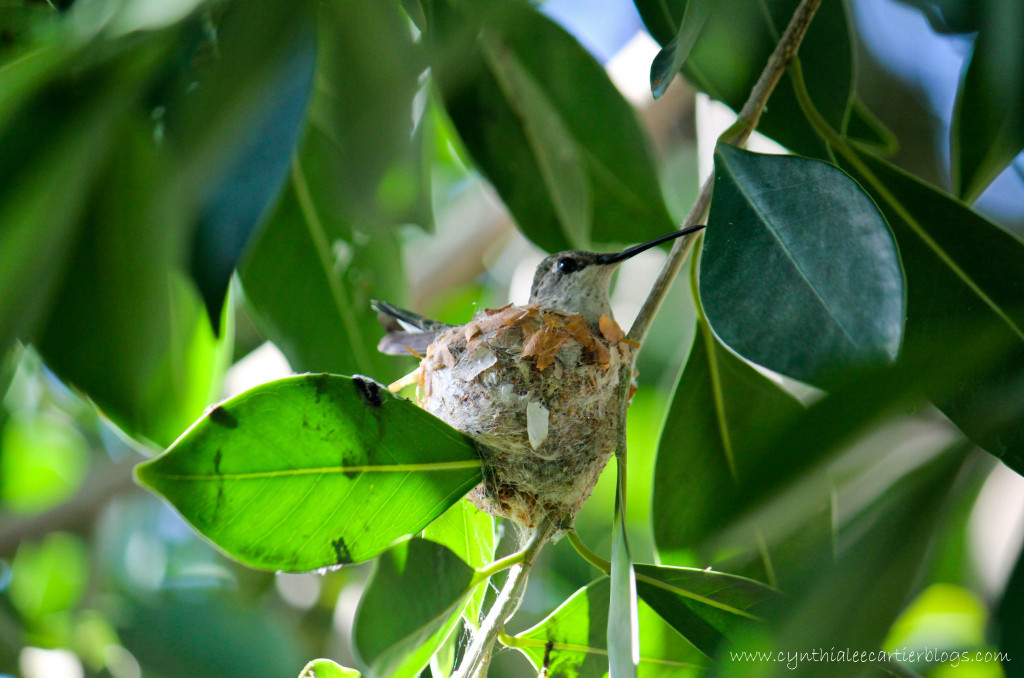 Honey the hummingbird in her hummingbird nest