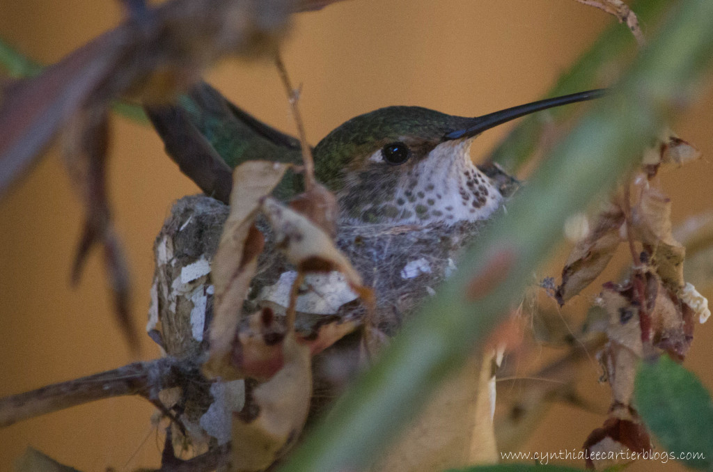 Roosting mama in hummingbird nest