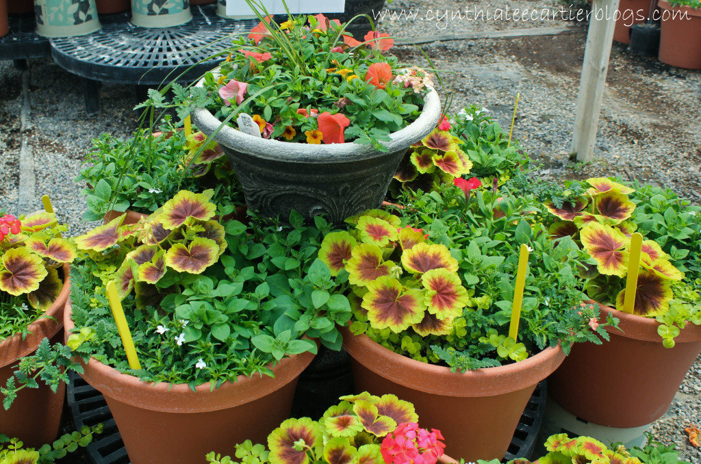 Lander Wyoming, Sprouts Garden Center: Potted Coleus