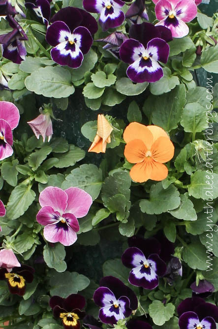 Lander Wyoming, Sprouts Garden Center: Beautiful close-up pic of pansies