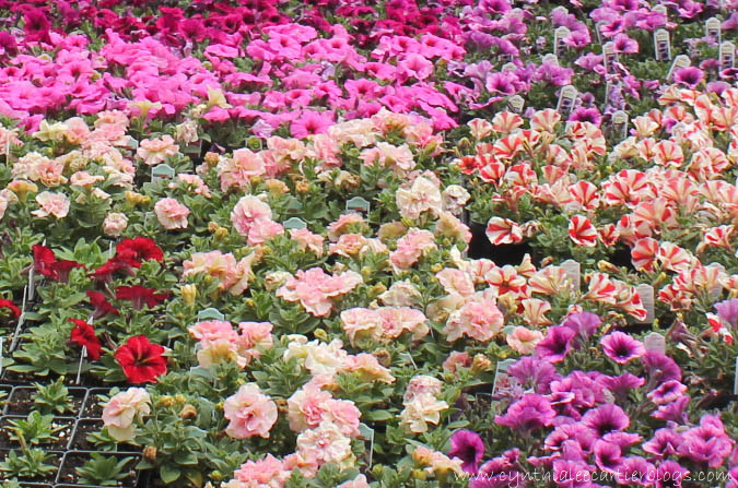 Lander Wyoming, Sprouts Garden Center: Close-up Picture of Petunias