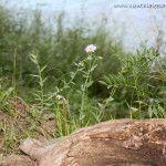 Mini Daisy by the Rio Chama River in New Mexico