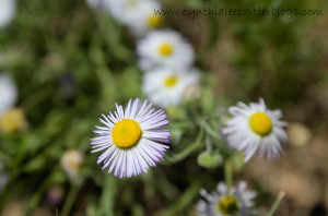 Closeup Pic of Lavendar Daisy