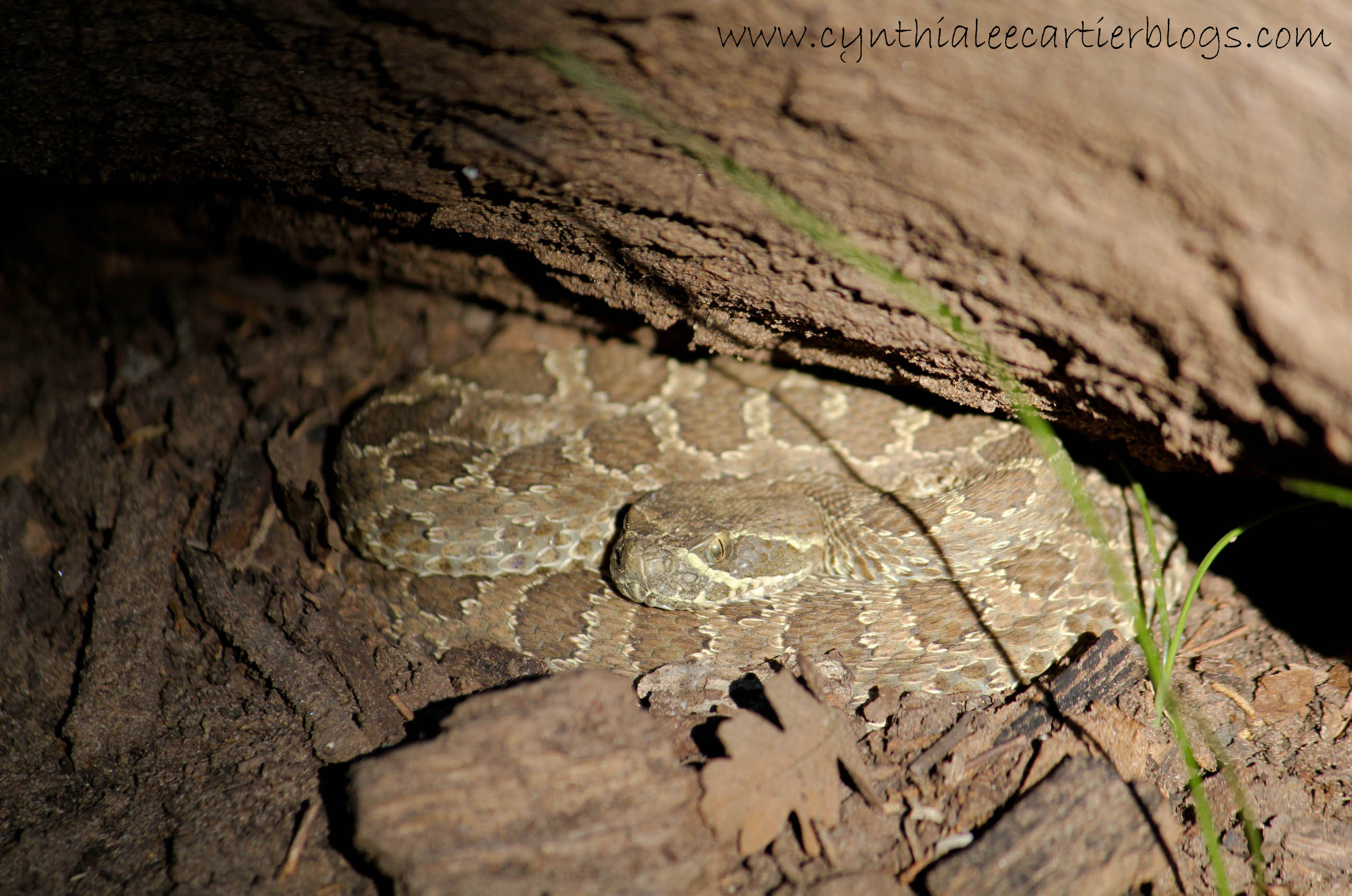 Closeup of a baby rattlesnake under a log by the Rio Chama River in New Mexico