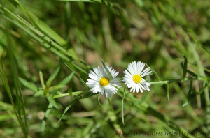 Closeup Pic of White Daisies